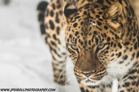 Amur Leopard Closeup Snow Pittsburgh Zoo