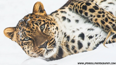 Amur Leopard Rolling Snow Pittsburgh Zoo