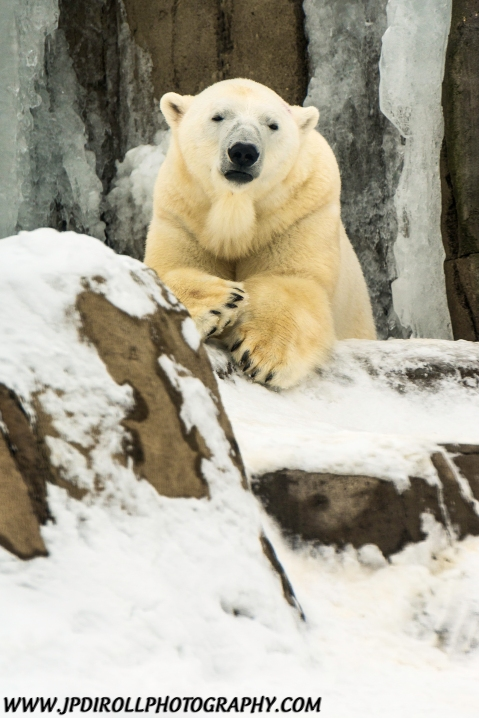 Lazy Polar Bear Pittsburgh Zoo Snow