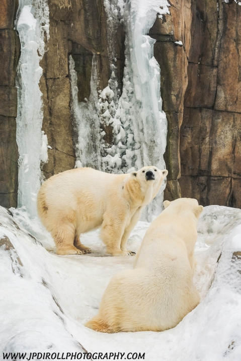 Polar Bear Brothers Snow Pittsburgh Zoo