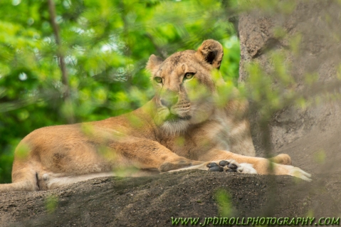 """Female lion through the brush of the """"jungle"""""""
