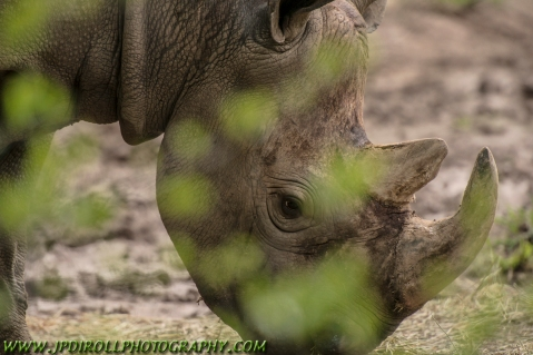 Behind a tiny branch and leaves, this massive black rhino is invisible.  You can barely see him, no? :-)