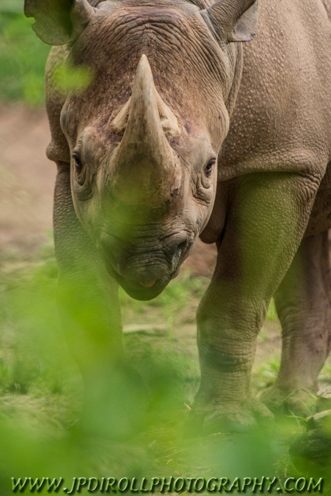 A black rhinoceros gives a glare as I peak through the brush.
