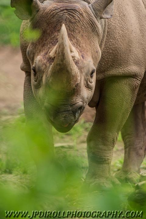 A black rhinoceros gives a glare as I peak through the brush.