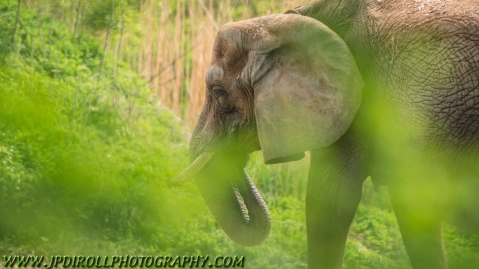 A female African elephant paces back and forth just beyond the brush.