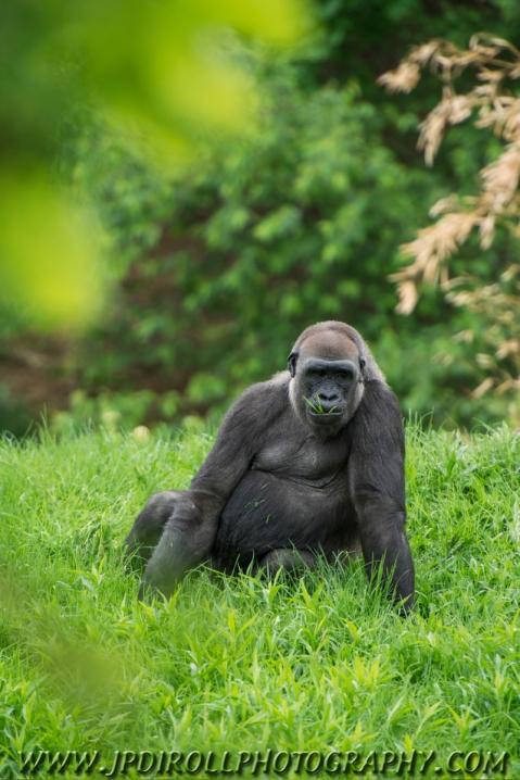 A female western lowland gorilla enjoying a snack.