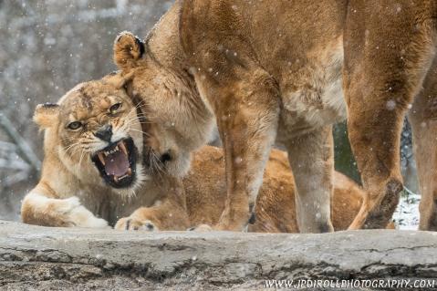 Feline Fury Pittsburgh Zoo Lions Winter Zoo blog