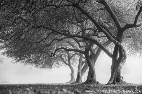 """6. """"Twisted"""" represents my backyard.  Not literally, but this beautiful spot is only a few my from my home and I've had my eye on these trees for some time.  The fog rolled in and provided just the mood I was looking for."""