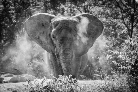 Dusty African Elephant Pittsburgh Zoo Black White blog