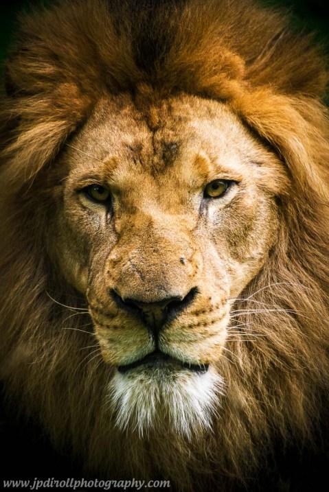 Soul of Serenget African Wildlife Lion Portrait Pittsburgh Zoo blog
